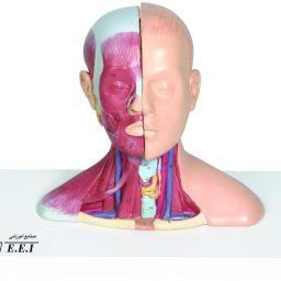مولاژ سر و گردن 1/2 اندازه طبیعی