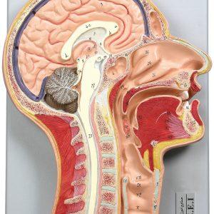 مولاژ مقطع میانی سر و گردن در اندازه طبیعی