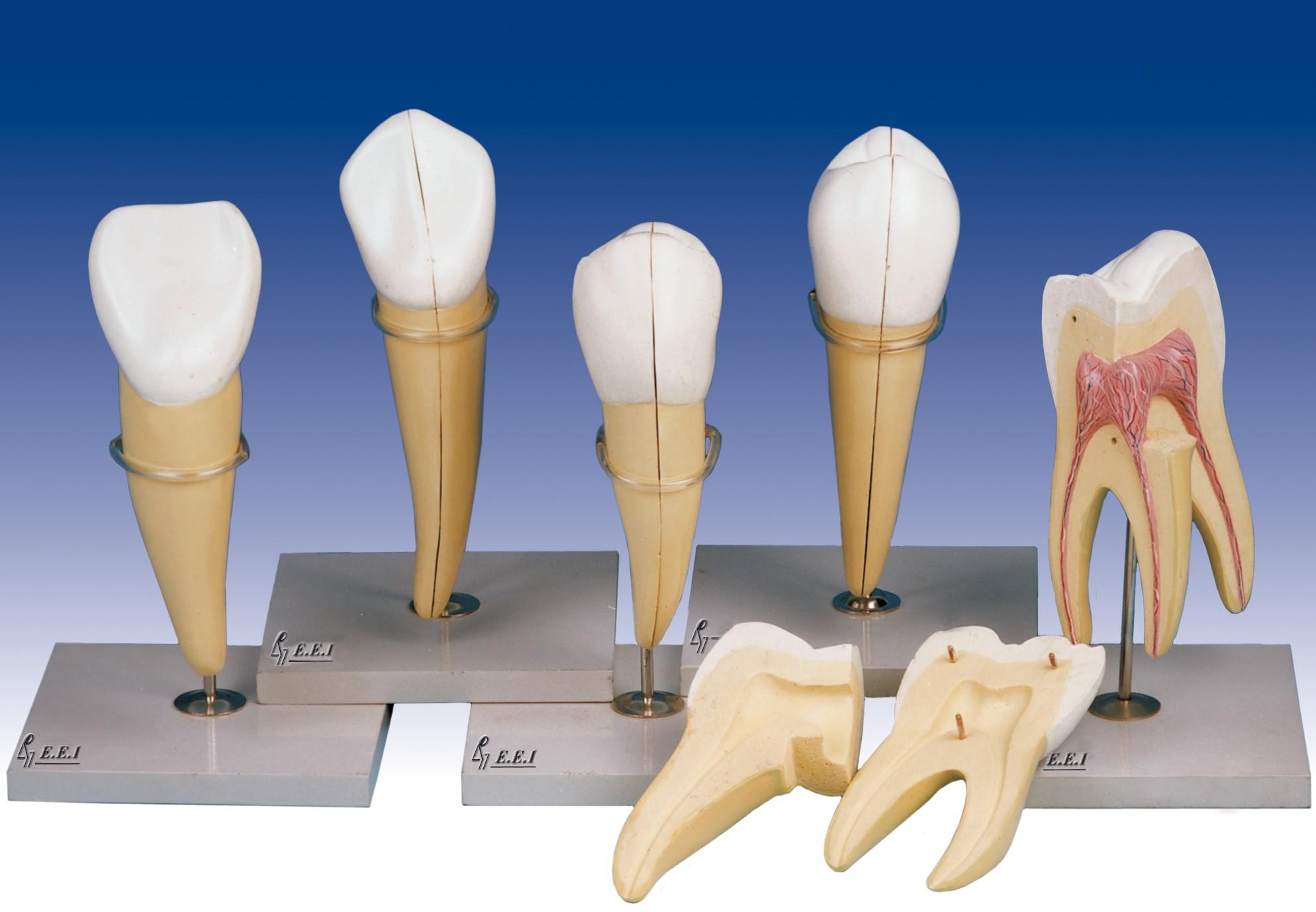 مولاژهای دندان