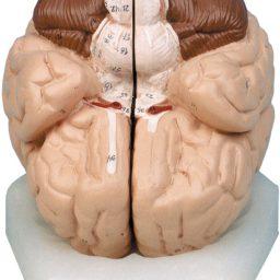مولاژ مغز (دو تکه و هشت تکه)