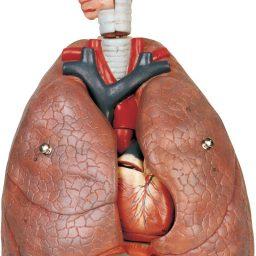 مولاژ دستگاه تنفس