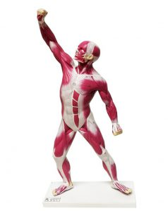 مولاژ عضلات بدن انسان