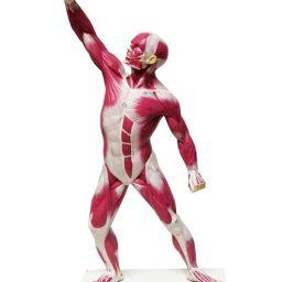 فروش مولاژ عضلات بدن