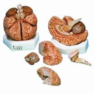 خرید مولاژ مغز