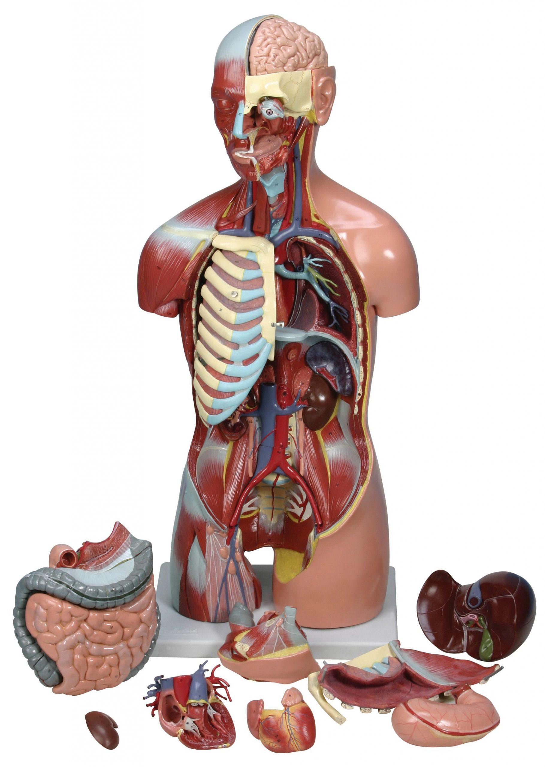 مولاژ بدن انسان ماکت آناتومی بدن انسان و کودک