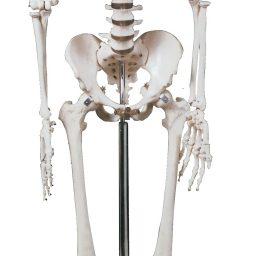 مولاژ اسکلت انسان،کوچکتر از اندازه طبیعی