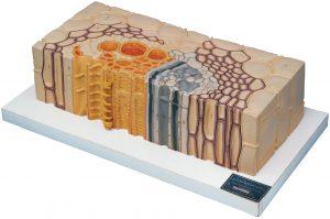 مولاژ آناتومی مدل های گیاهی
