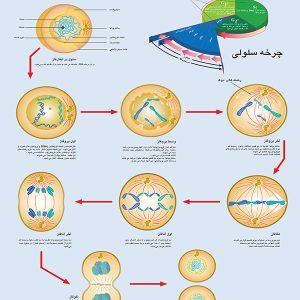 پوستر چارت تقسیم سلولی میتوز